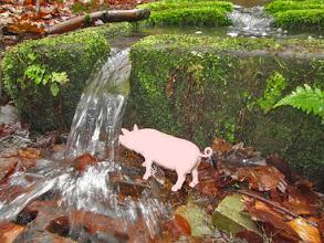 Photo: source et abreuvoirs du Neubach, Schweini a soif !