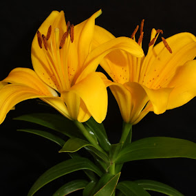 Beautiful Yellow Lily! by Nicholas Cain - Nature Up Close Flowers - 2011-2013