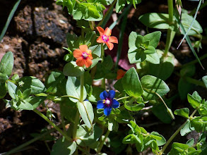 Photo: Anagallis arvensis