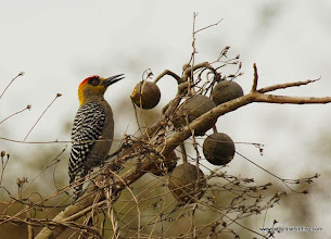 Photo: Golden-cheeked Woodpecker, Nuevo Vallarta