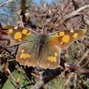 Nettle-tree butterfly