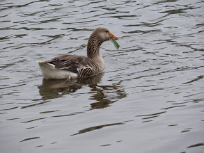 Photo: 21 Jun 13 Priorslee Flash: A Greylag Goose gets down to breakfast on one of the iris leaves! (Ed Wilson)