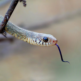 Rat Snake by Faizan Hussain - Animals Reptiles ( snake, wild, nature, rat snake, forked tongue, reptile, close up, eye, colours,  )