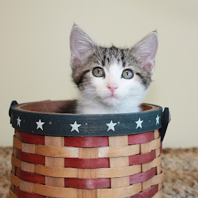 mrs marble by Sharon Scholtes - Animals - Cats Portraits ( red.white, kitten, cat, blue, stars, basket, feline )