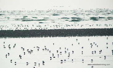 Photo: Dunlin swarm, Boundary Bay, B.C.