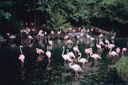 Dominican-Republic-flamingos - Flamingos in the Dominican Republic.