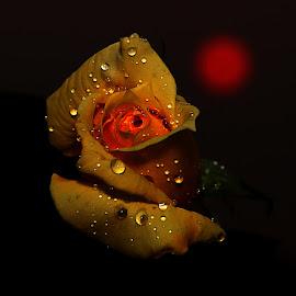 by Todd Klingler - Flowers Single Flower