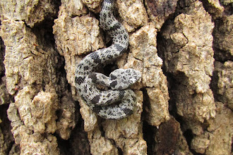 Photo: Baby rattler on tree trunk!