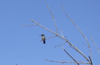 Photo: Black-chinned hummingbird