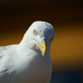 Seagull of oostende by Muthu Ravi - Animals Birds ( bird, animals, seagull, bird portrait, white bird, birds )
