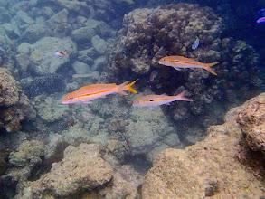 Photo: Mulloidichthys flavolineatus (Yellowstripe Goatfish), Miniloc Island Resort reef, Palawan, Philippines.