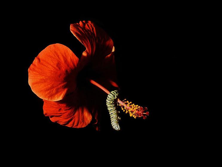 Bruco di cavolaia abbracciato ad un ibiscus - © Saro Di Bartolo