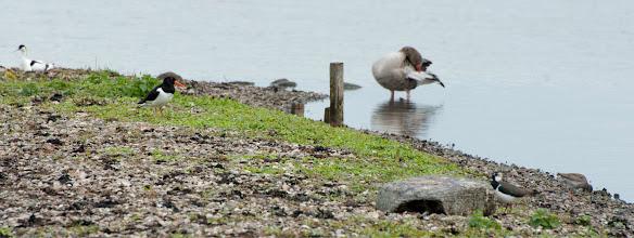 Photo: Avocet (Säbelschnäbler), Oystercatcher (Austernfischer), Greylag Goose (Graugans)