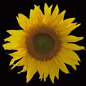 Sun Flower by Ghazan Joyia - Flowers Single Flower (  )