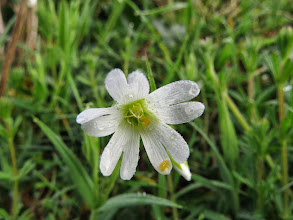 Photo: Woodhouse Lane The paired petals identify this as Greater Stitchwort [Stellaria holostea]. (Ed Wilson)