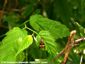 Photo: 0148 Nemophora degeerella