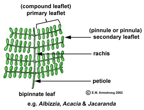 Figure 2: Structure of a bipinnate leaf (Armstrong, 2002)