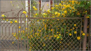 Photo: Trandafir Domnesc  (Kerria Japonica)  - din Turda, Str. Mihai Viteazu - 2019.05.02