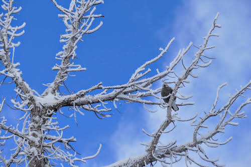 What to Do in Lake Tahoe in the Winter // Birdwatching among the frozen trees around Lake Tahoe CA