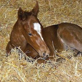 Newborn by Bryan Lowcay - Animals Horses ( horse, foal,  )