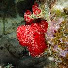 Encrusting Red Sponge