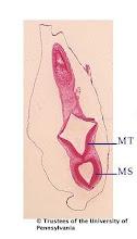 Photo: Nervous System (blue labels): MT - Metencephalon MS - Mesencephalon