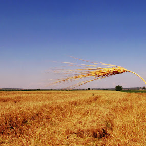 Wheat  by Milan Milosevic ヅ - Nature Up Close Gardens & Produce ( field, wheat, sky, village, flora, plants )