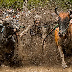 The Power of Pacu Jawi by Teddy Winanda - News & Events Sports ( west sumatera tourism, minangkabau, indonesia tourism, racing cows, pacu jawi )