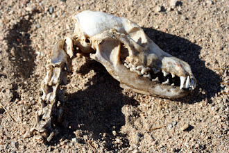 Photo: Skull! (what is it, can anyone guess?)