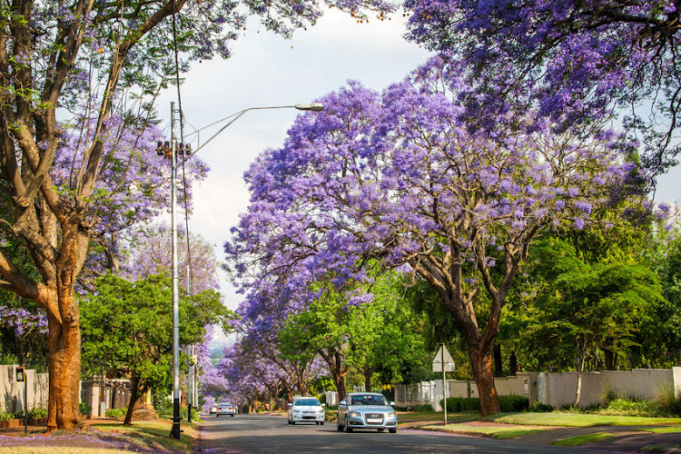 Tall Jacaranda trees lining the street of a Johannesburg suburb. Picture: 123RF/Vanessa Bentley