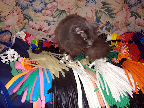 """Photo: Maggie when she was 22yrs going over balloon inventory. 1989-2011 Awesome """"Queen of the House Cat"""" and Mark's first pet ever, miss her yelling at us..."""