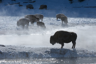 Photo: Bison (Bison bison) grazing along the banks of the Madison River in Yellowstone National Park, Wyoming.