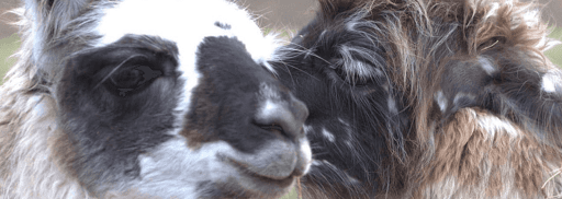 lamas de la richette de rambervillers