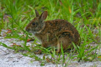Photo: In addition to feral horse, the river otter, gray fox, raccoon and marsh rabbit inhabit the islands.
