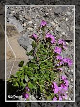 Photo: Erine des Alpes, Erinus alpinus