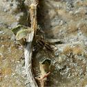 Phlegra jumping spider
