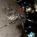 Aranha-de-telhado
