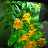 8 week flowers - mimulus, snapdragon, vinca - vinca has a bud