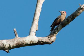 Photo: Golden-fronted Woodpecker (Goldstirnspecht); Bacalar, QROO
