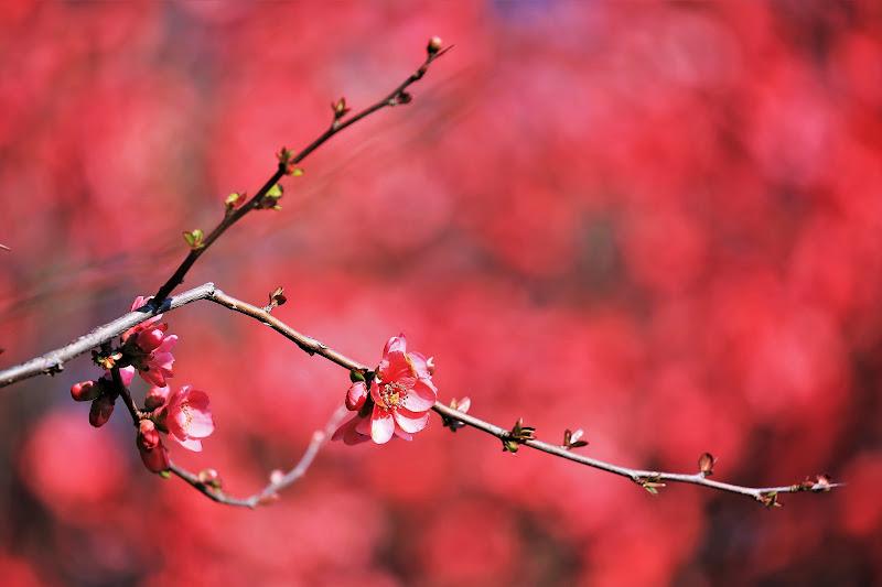 Gemme di primavera di ScrofaniRosaria