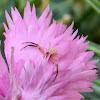 Yellow flower crab spider
