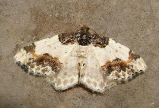 Photo: Ligdia adustata    Lepidoptera > Geometridae