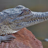 Freshwater Crocodile (juvenile)