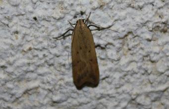 Photo: Dichomeris limosellus  Lepidoptera > Gelechiidae