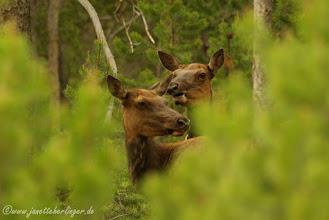 Photo: Wapiti Hirschkühe im Wald