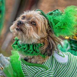 by Judy Rosanno - Animals - Dogs Portraits ( kite and tail festival )
