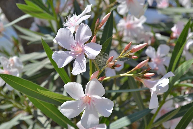 Nerium Oleander (Oleandro) di Debora Brambilla