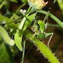 Greek marbled bush-cricket