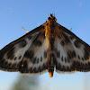 Small Magpie/ Огнёвка крапивная пёстрая