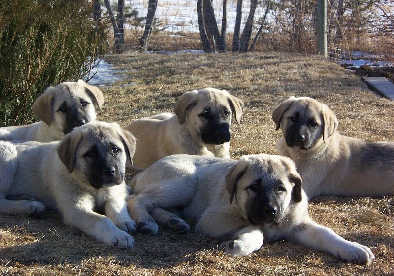 Kangal Dog (Anatoli Shepherd) price range. How much do Kangal cost?